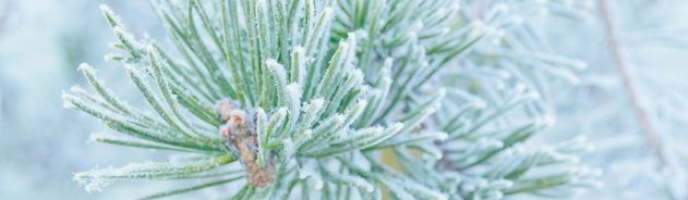 frosty pine page